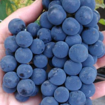 Виноград Альфа-1