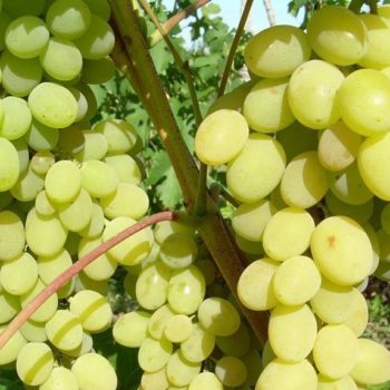 Виноград Августин белый-2