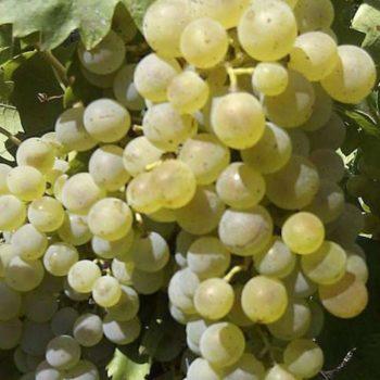 Виноград Аврора  (Магарача)-2