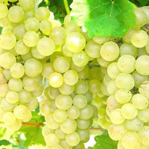 Виноград Аврора  (Магарача)