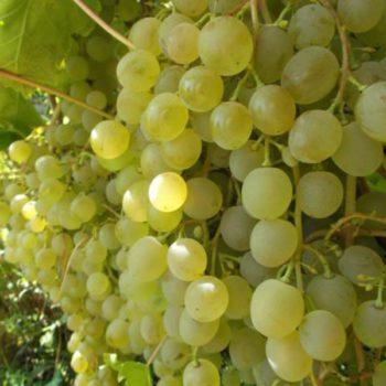 Виноград Краса Севера-2