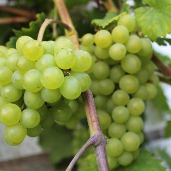 Виноград Краса Севера-1
