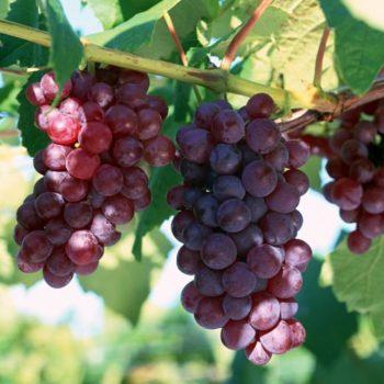 Виноград Лидия-2