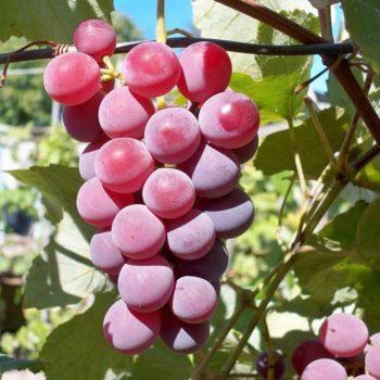 Виноград Лидия-1