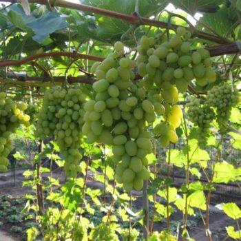 Виноград Августин белый-1