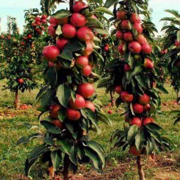 Яблоня колоновидная «Алые Паруса»-2