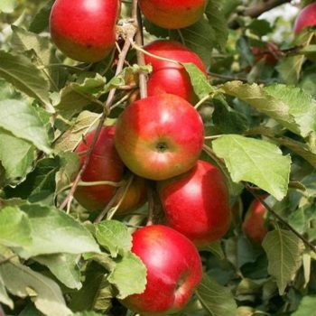 Колоновидная яблоня «Баргузин»-2