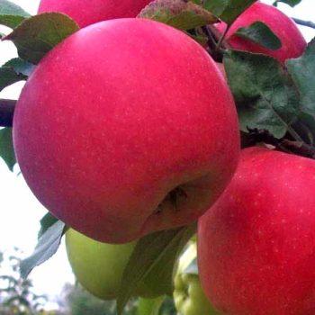Яблоня Деличия-1