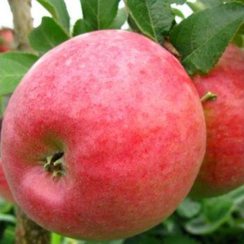Яблоня Деличия-2