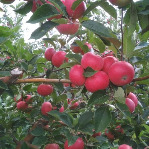 Яблоня Дискавери