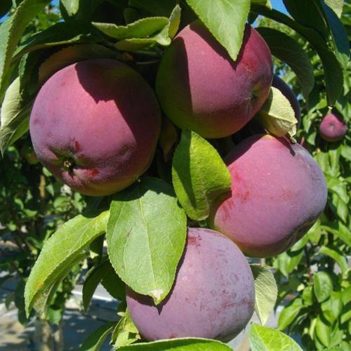 Яблоня колоновидная «Джин»