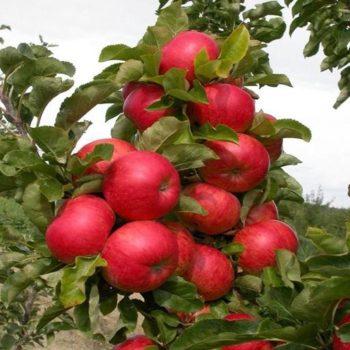 Колоновидная яблоня «Элита»-2