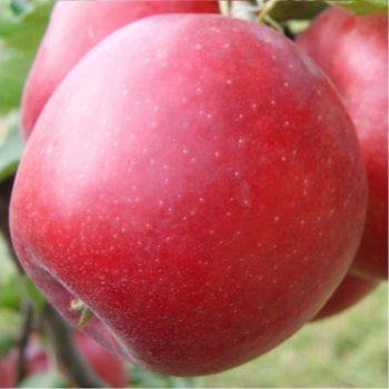 Яблоня Эвелина-1