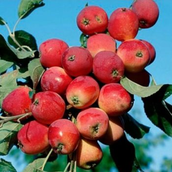 Яблоня колоновидная «Китайка красная»-1
