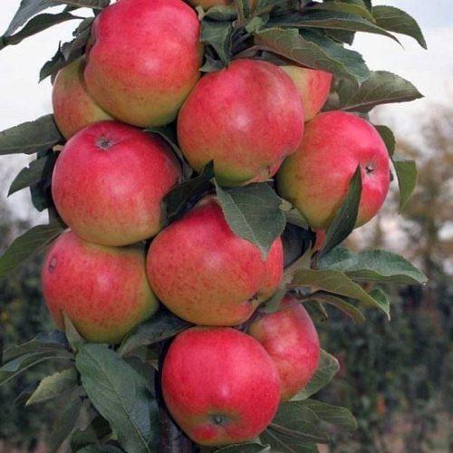 Яблоня колоновидная «Луч»
