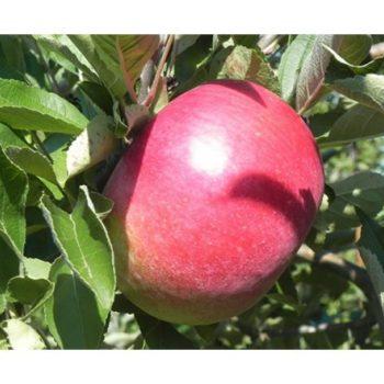 Яблоня Малиновый Делишес-1