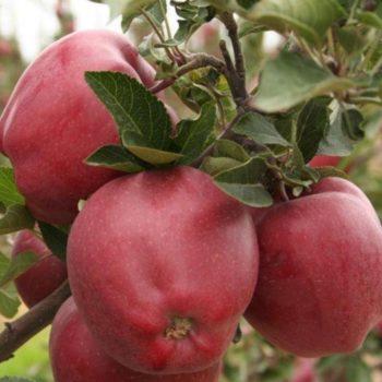 Яблоня Малиновый Делишес-2