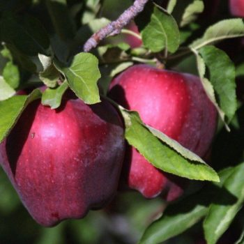 Яблоня Малиновый Делишес-3