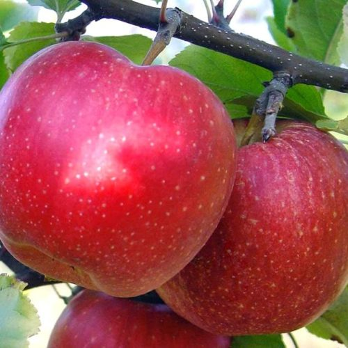 Яблоня Малиновый Делишес