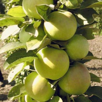 Колоновидная яблоня «Малюха»-2