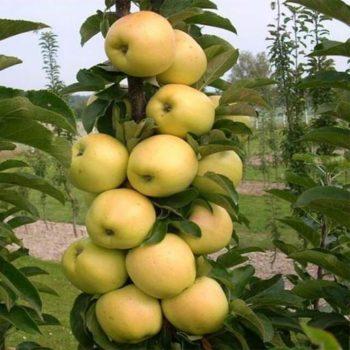 Колоновидная яблоня «Медок»-2