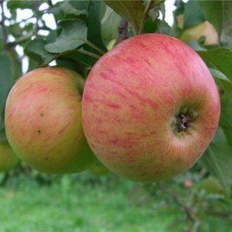 Яблоня колоновидная «Медуница»