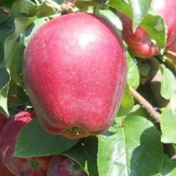 Яблоня Моди-1