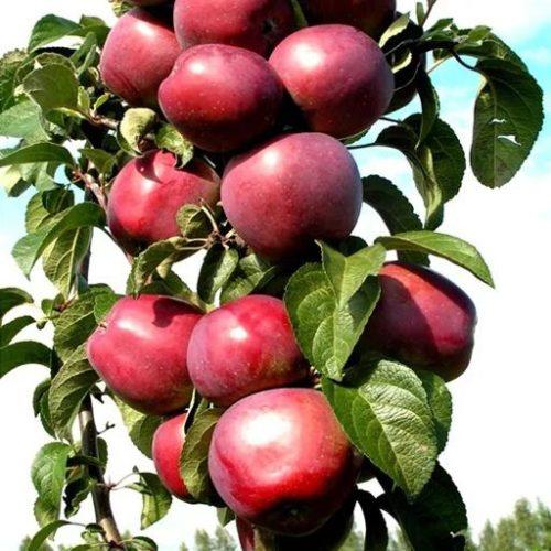 Колоновидная яблоня «Московское Ожерелье»