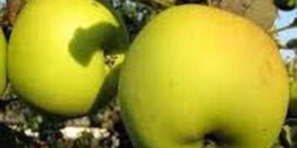 Яблоня Орион-1