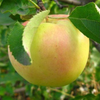 Яблоня Орион-2