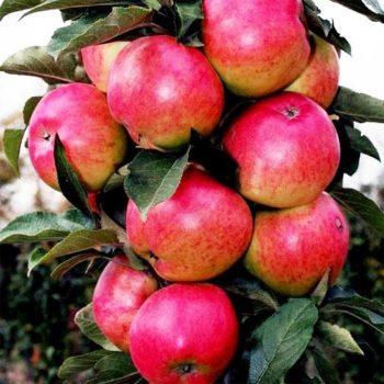Колоновидная яблоня «Останкино»-2