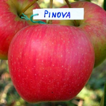 Яблоня Пинова-1
