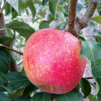 Яблоня Пинова-2