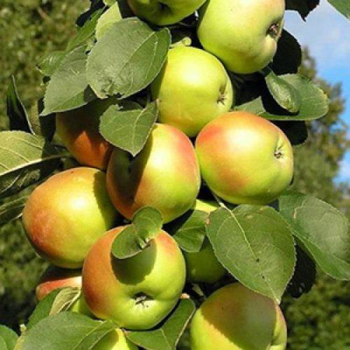 Яблоня колоновидная «Приокское»