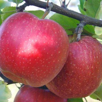 Яблоня Ремо-2
