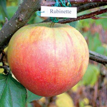 Яблоня Рубинетте Россо-1