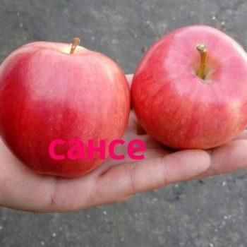 Яблоня Сансе-1