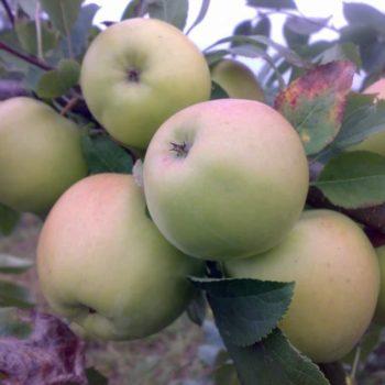 Яблоня Скифское золото-1
