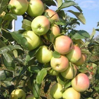Яблоня Скифское золото-2