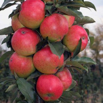 Яблоня колоновидная «Таскан»-2