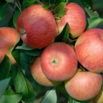 Яблоня Топаз-1