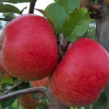 Яблоня Топаз-2