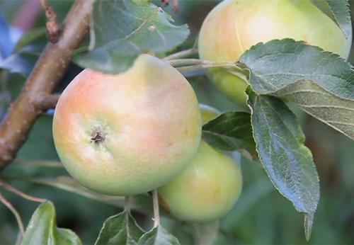 Яблоня колоновидная «Васюган»-2
