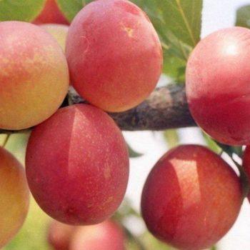 Слива Персиковая-1