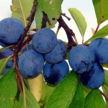 Слива Синий дар-1