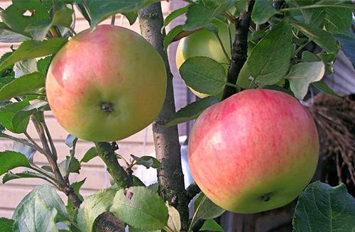 Яблоня колоновидная «Васюган»