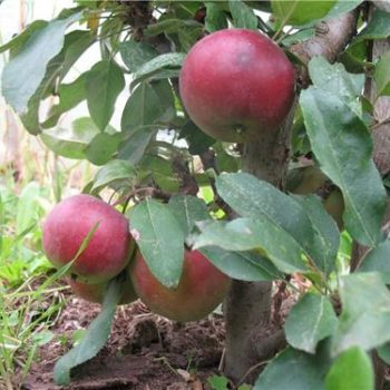 Яблоня колоновидная «Червонец»-2