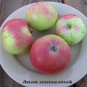 Яблоня Анис полосатый-2