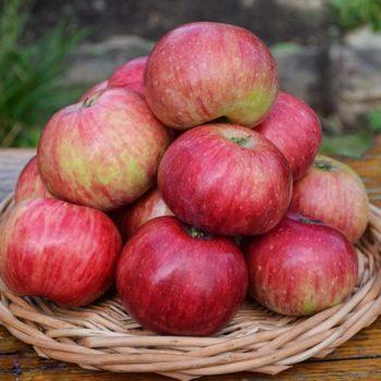Яблоня Анис полосатый-1