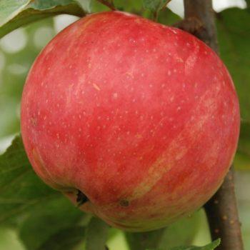 Яблоня Услада-1